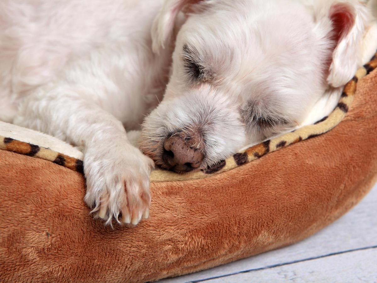 Biały piesek śpi na brązowym legowisku