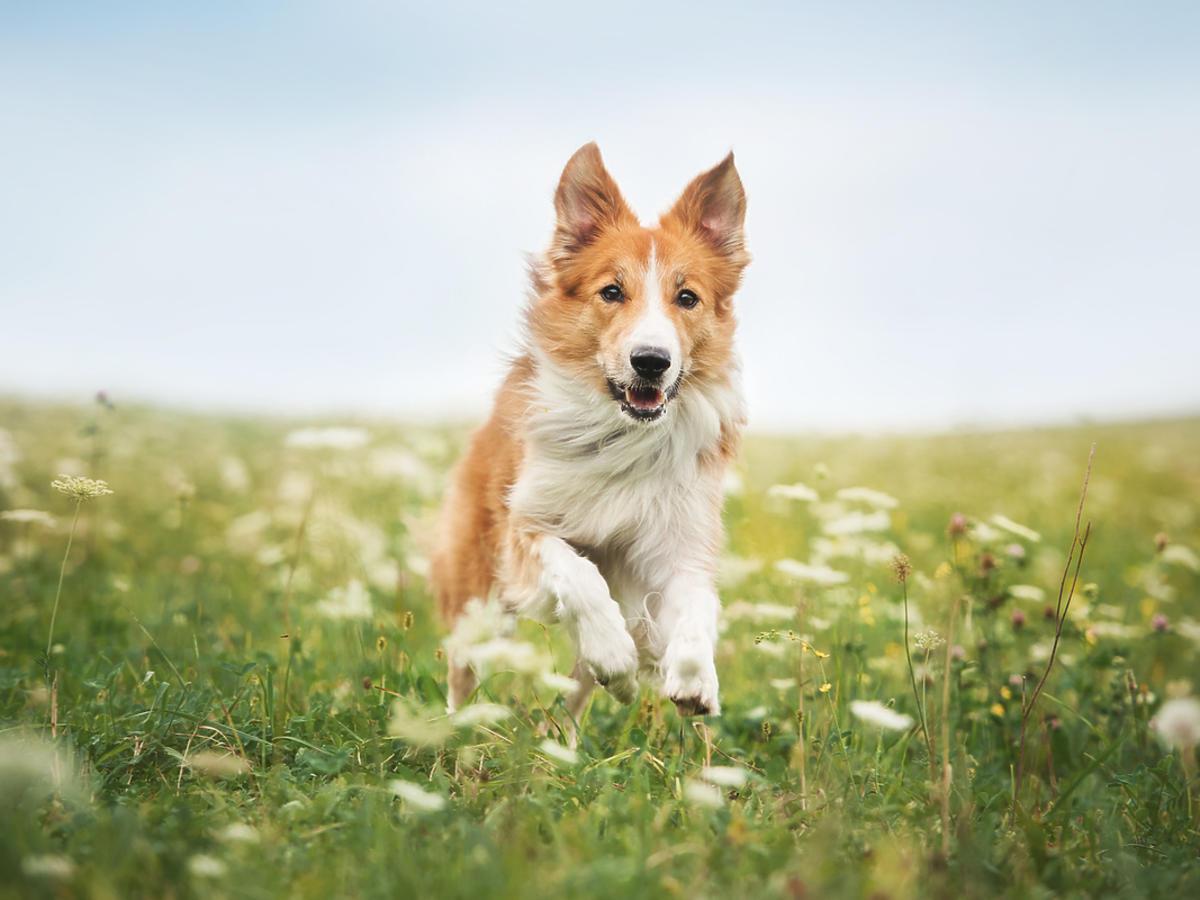 biegnący pies rasy border collie