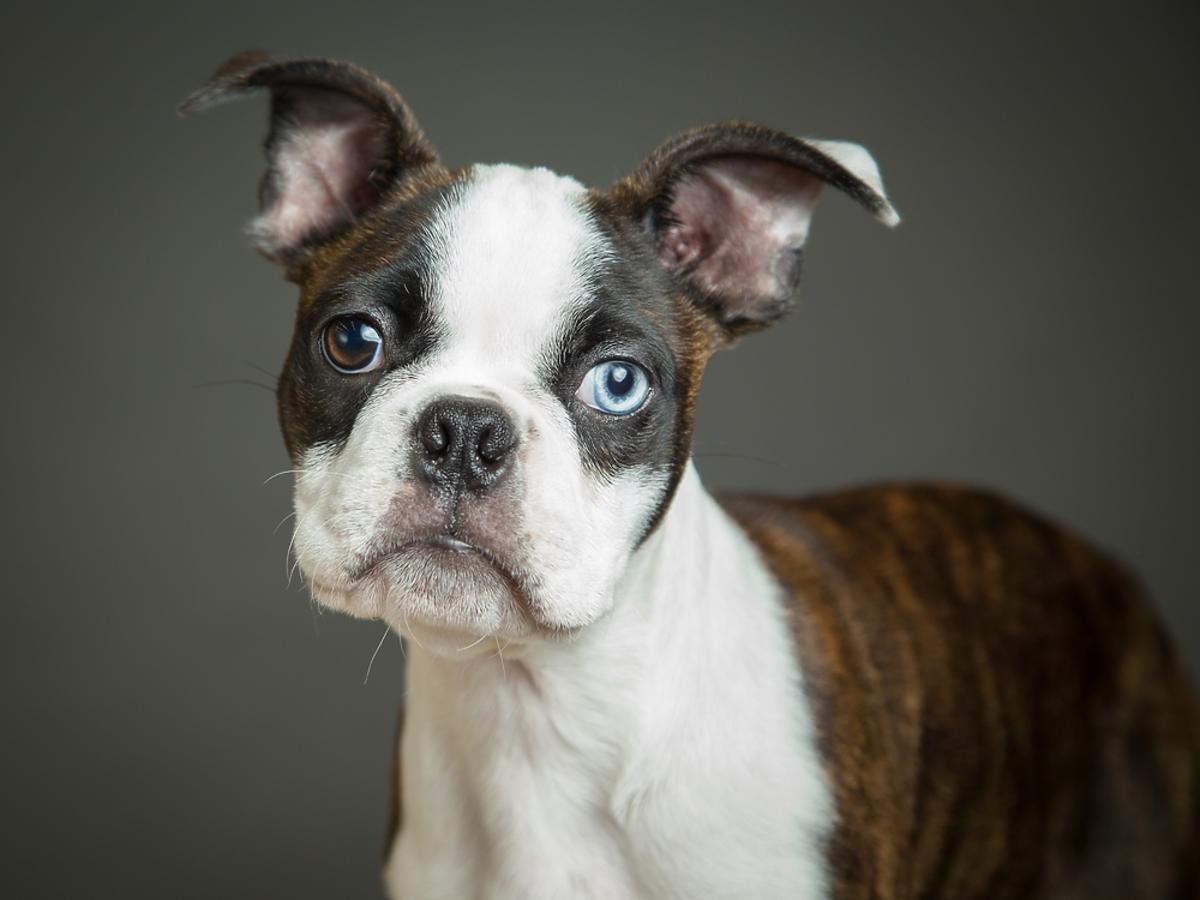 Boston terrier – charakterystyka rasy
