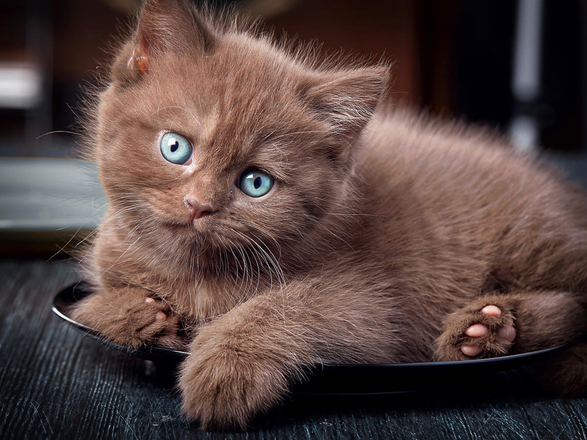 Brązowy młody kot leży na talerzu.