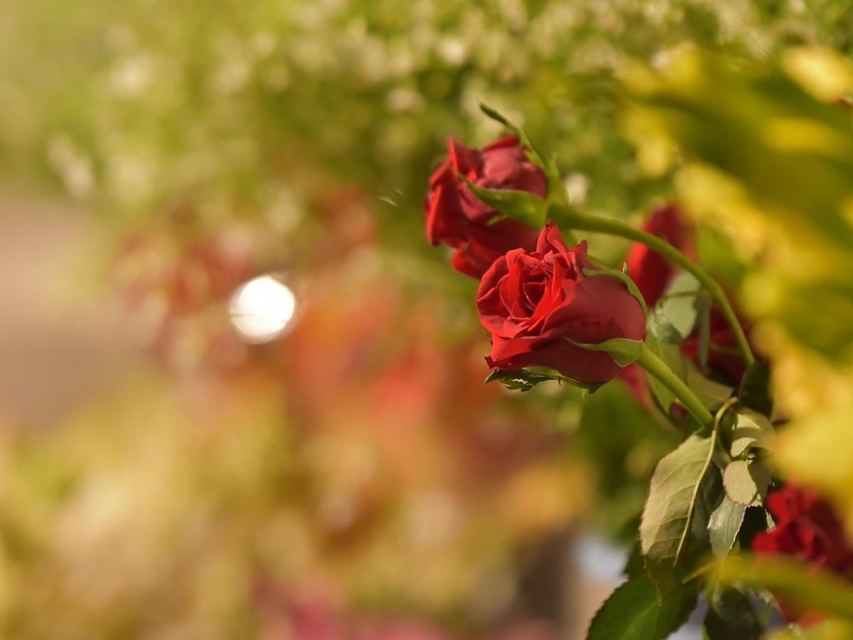 Czerwone róże rosną w ogrodzie.