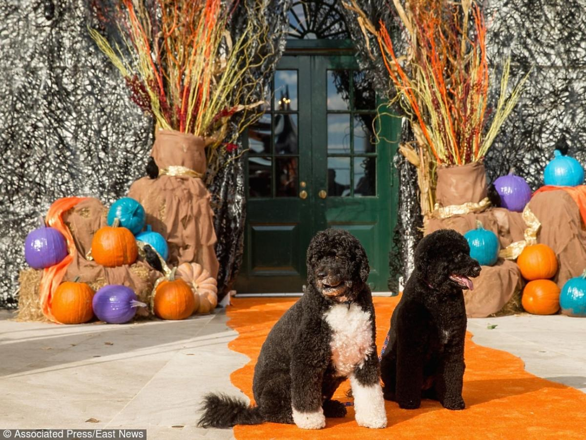 Halloween przed Białym Domem - psy Baracka Obamy (Bo i Sunny)
