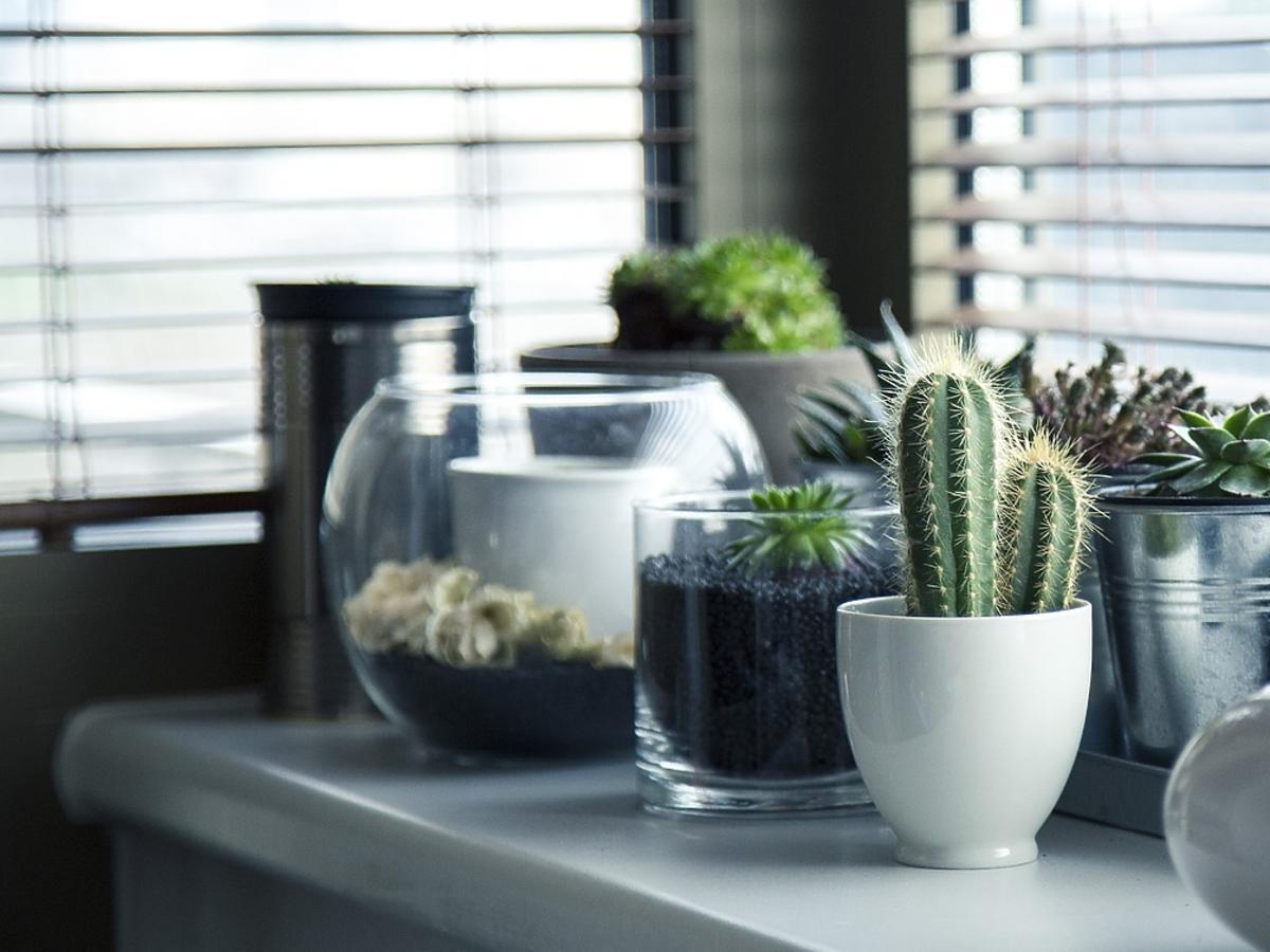 Kaktusy na parapecie