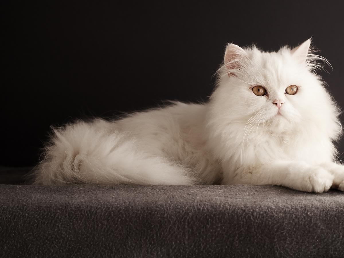 Kot perski - pielęgnacja futra. Jak dbać o persa?