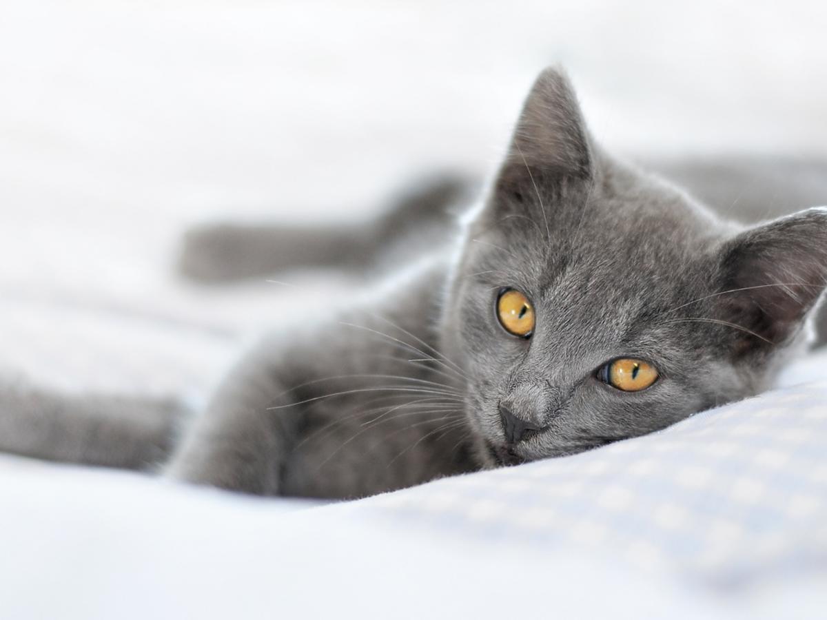 Kot rosyjski niebieski – wygląd, charakter