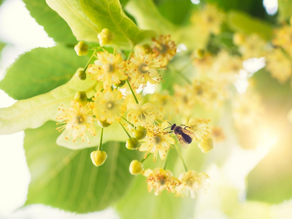 kwiat lipy, na którym siedzi pszczoła