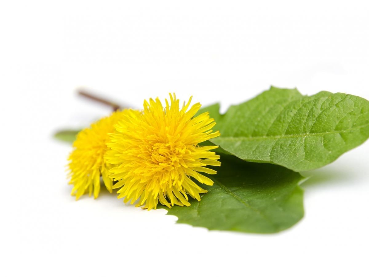 Kwiat mniszka lekarszkiego
