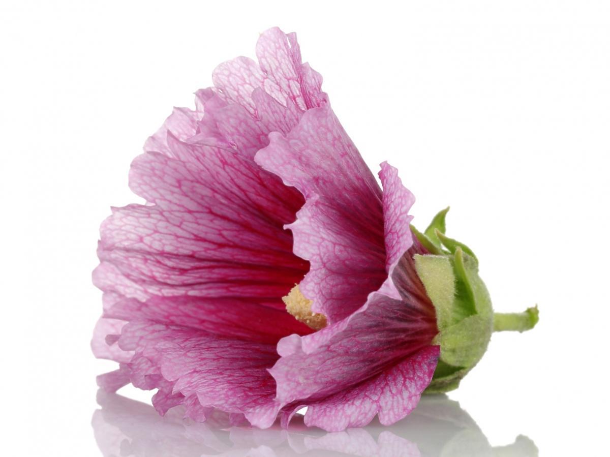 Kwiat różowej malwy