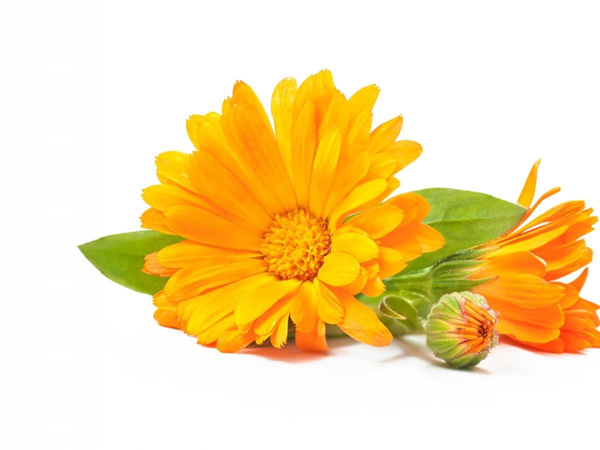 Kwiat ziela