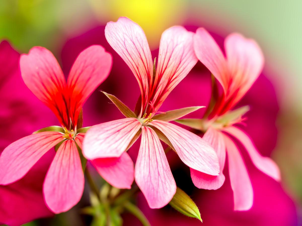 kwiaty pelargonii afrykańskiej