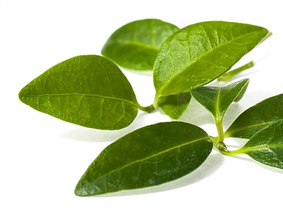 Liść zioła