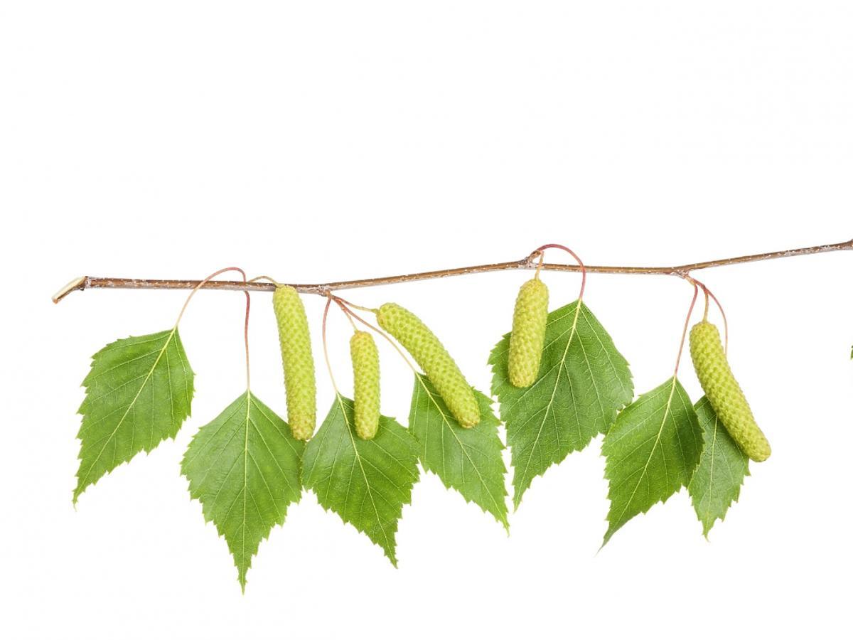 Liście brzozy na gałęzi