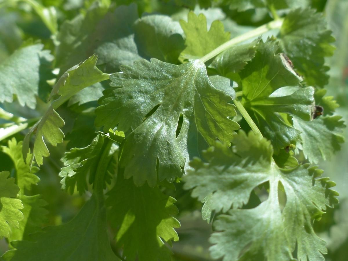 liście zioła