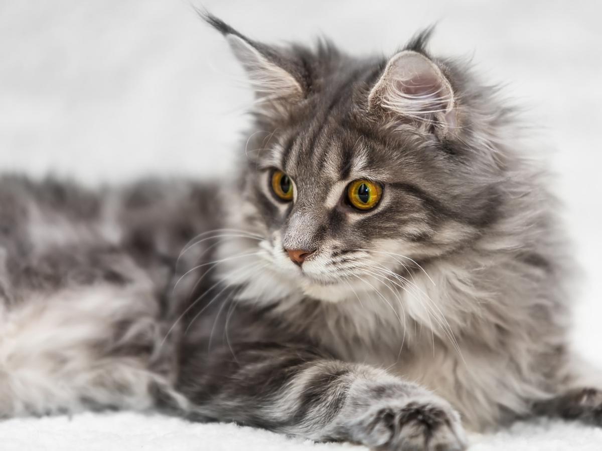 Maine coon – czym wyróżnia się ta rasa kotów?