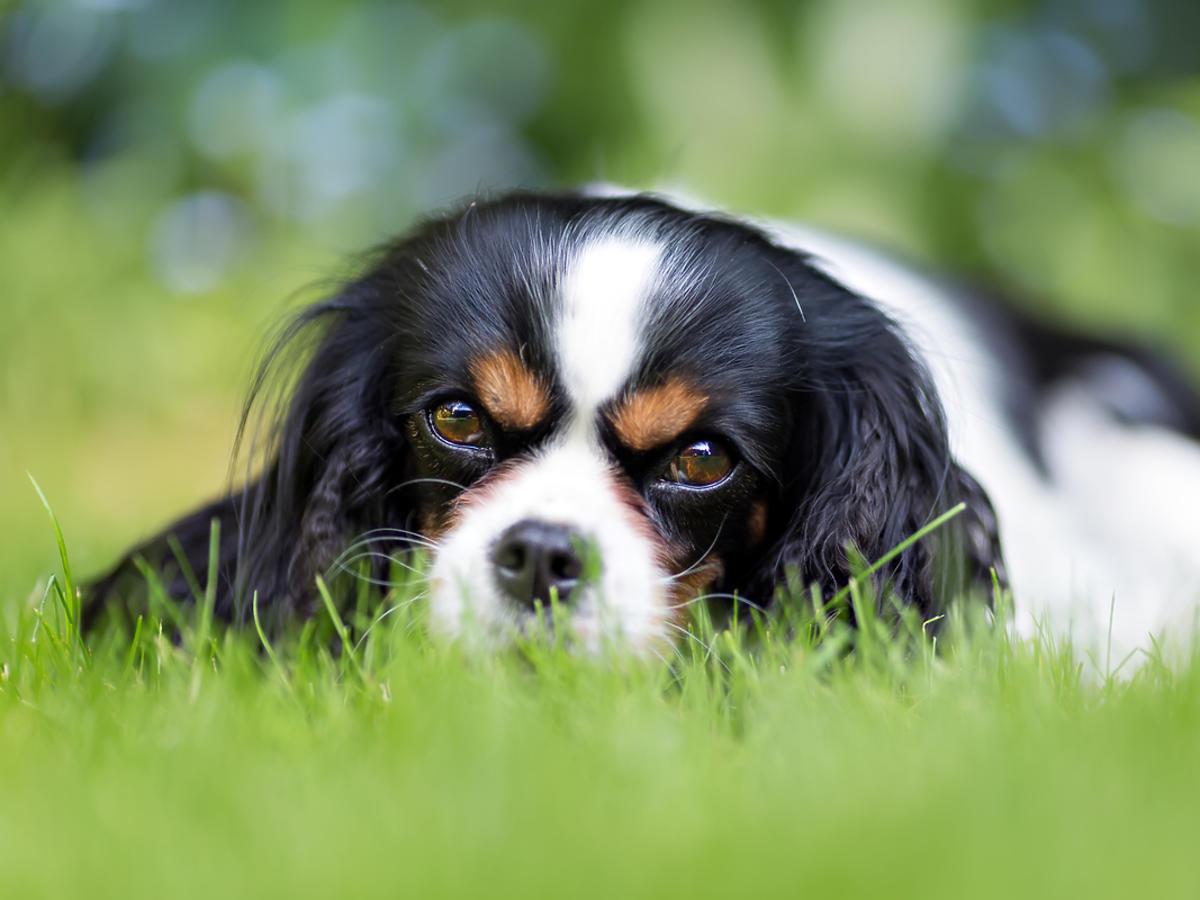 Młody pies chowa się w trawie.