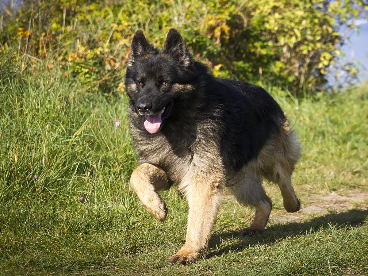 Owczarek niemiecki biegnie po trawie
