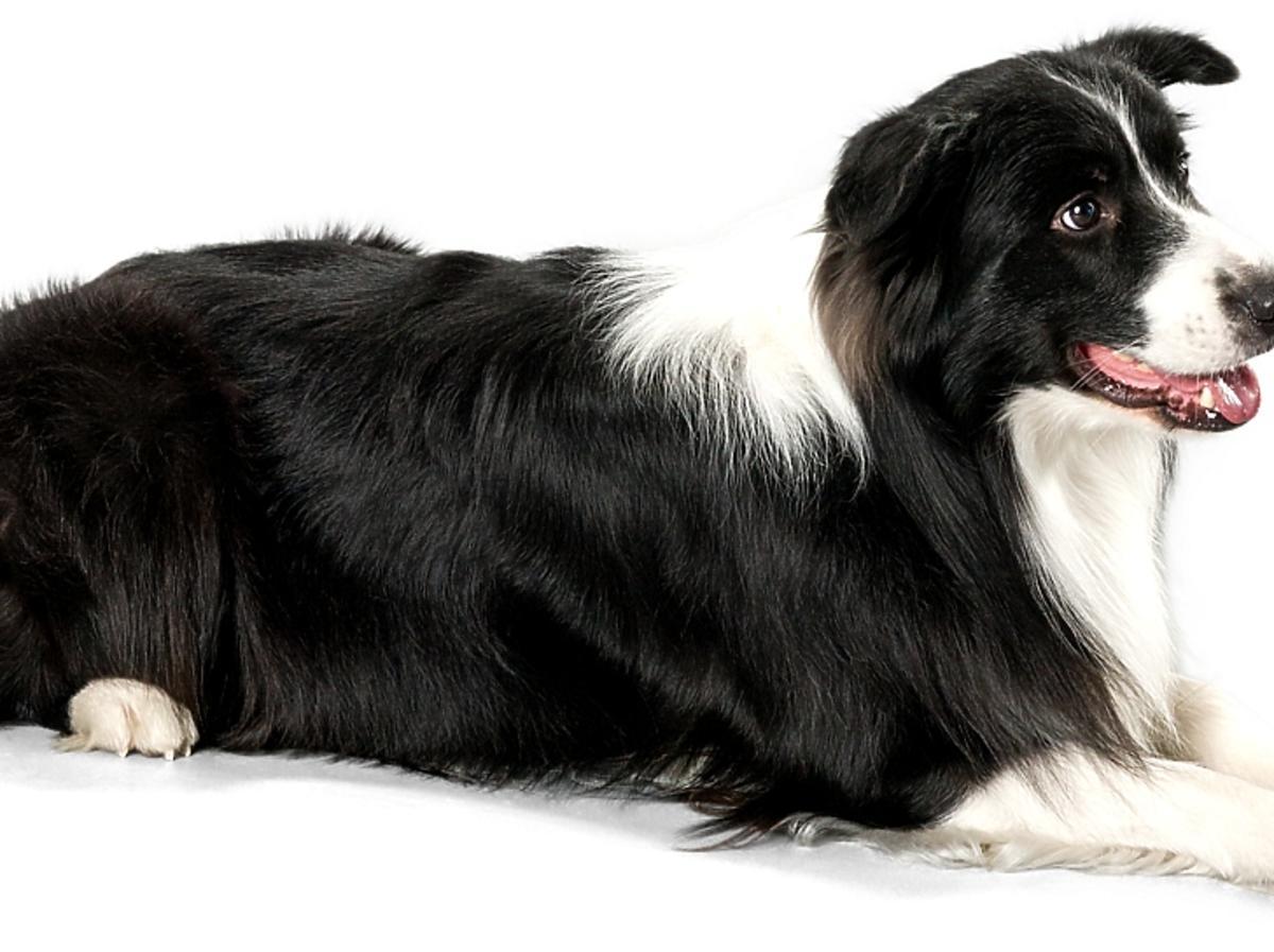 Pies białoczarny