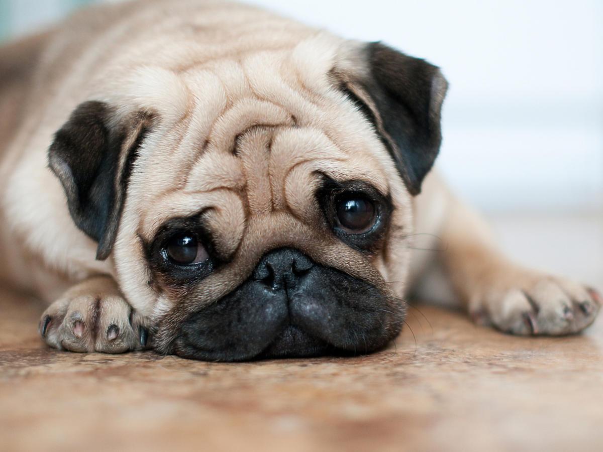 Pies leży na podłodze, widać jego smutny pysk i przednie łapy.