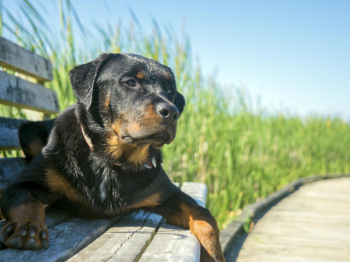 Pies rasy Rottweiler leży na ławce.