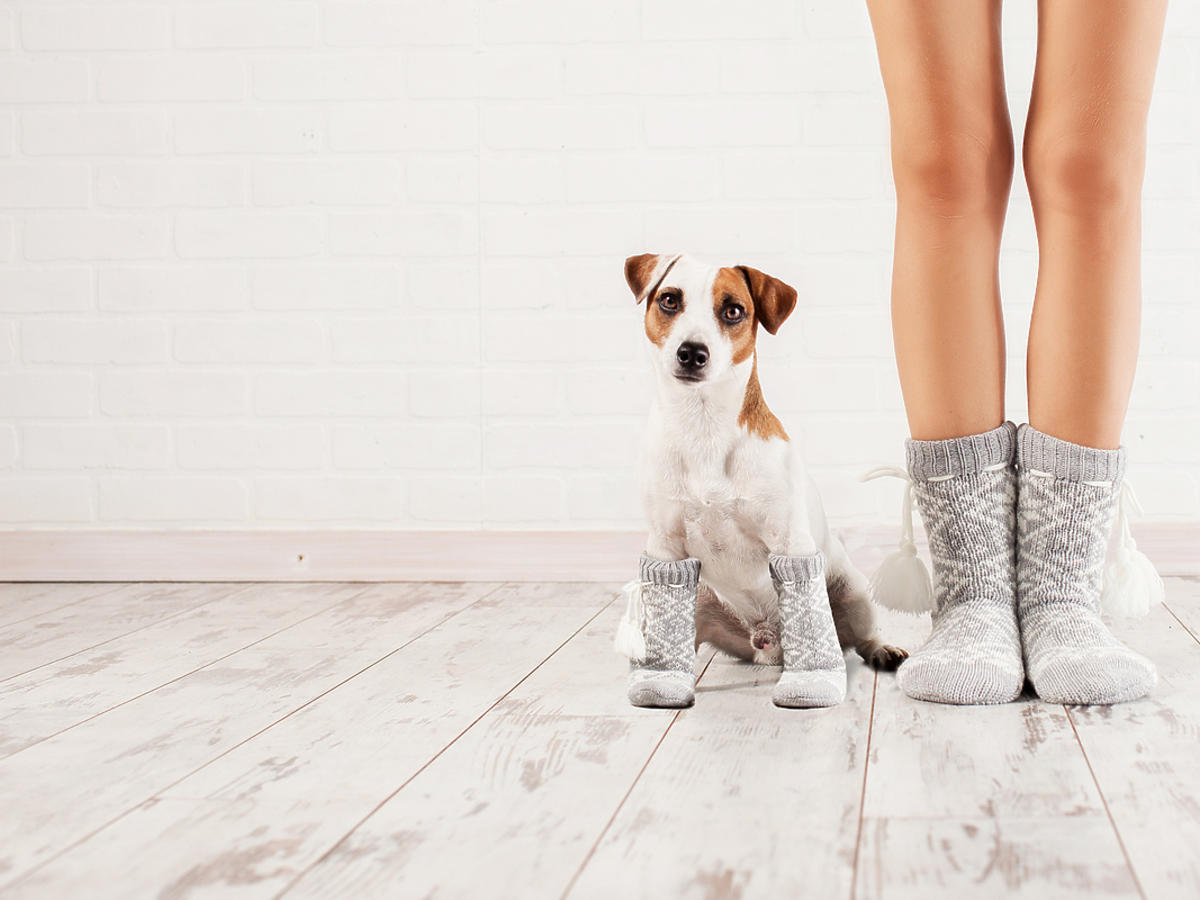 Pies siedzi obok właścicielki, na przednich łapach ma założone skarpetki