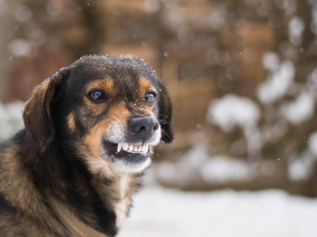 Pies stoi na zewnątrz i szczerzy kły.
