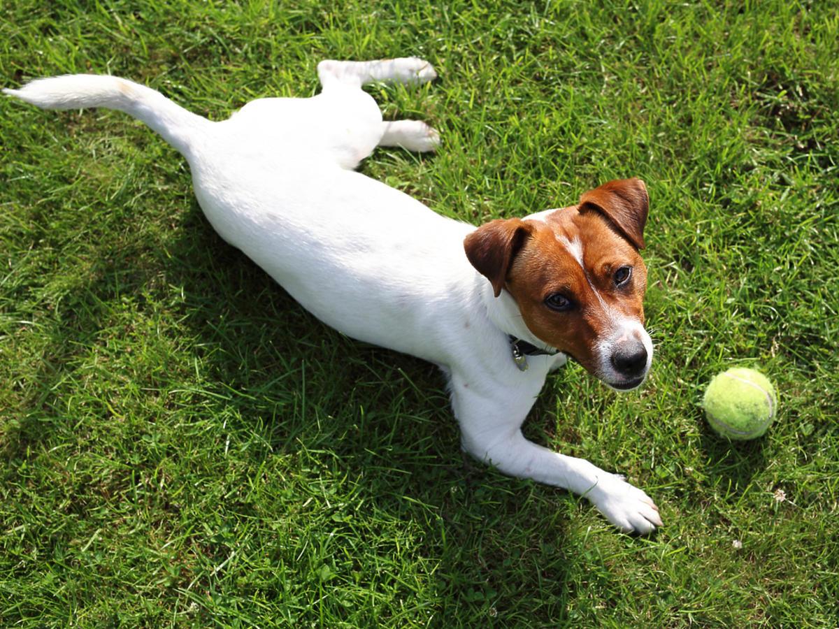 pies z gumową piłką leżący na trawie