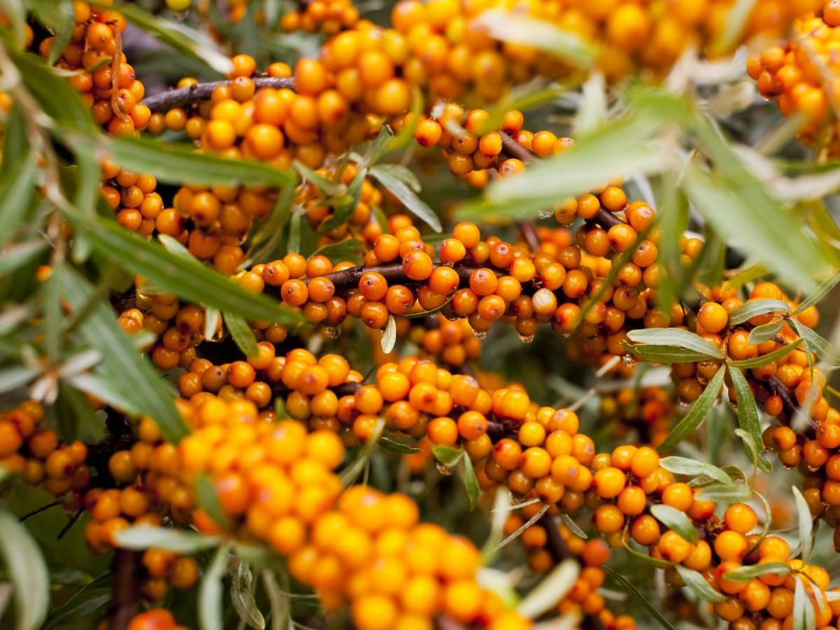 Pomarańczowe owoce rokitnika