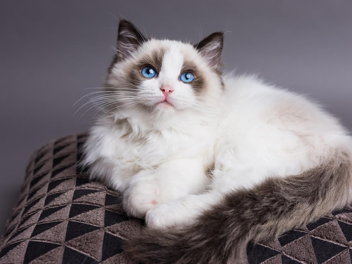Ragdoll – sprawdź, czy to kot dla Ciebie