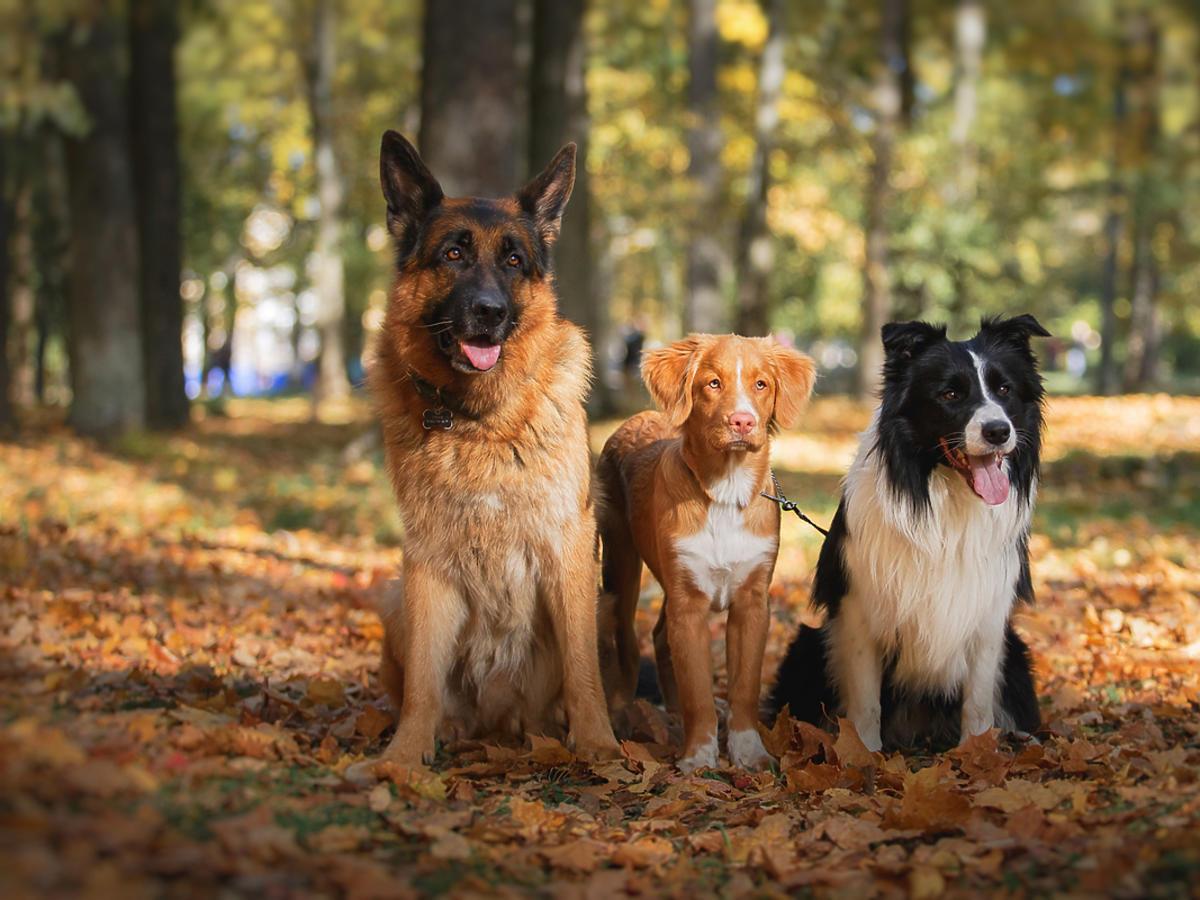 trzy psy na świeżym powietrzu