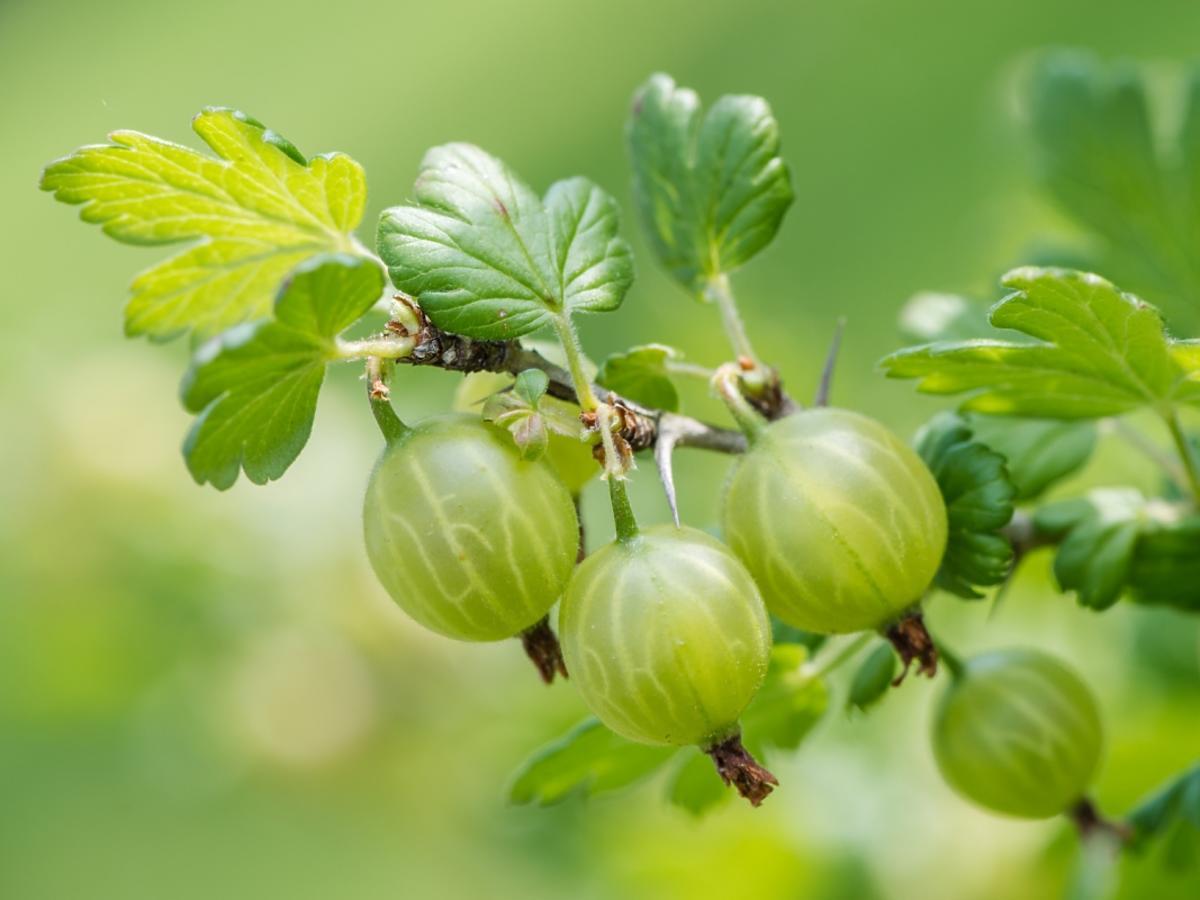 zielone owoce agrestu