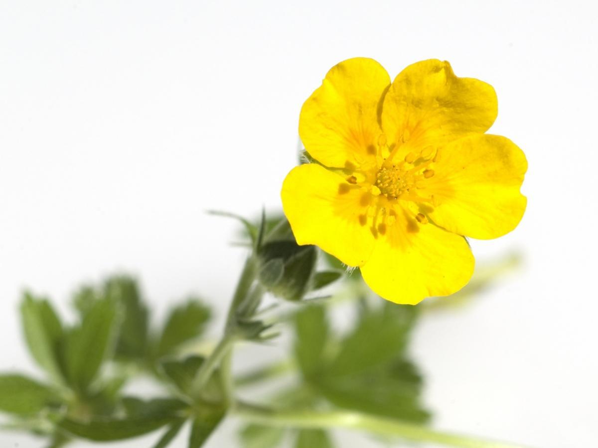żółty kwiat - pięciornik kurze ziele